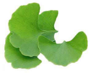 Ginkgoaceae