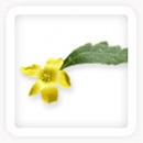 damiana-Leaf